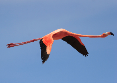 Pink Greater Flamingo (phoenicoterus rubber)